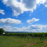 The vines at Antietam Creek Vineyards, with South Mountain in the background