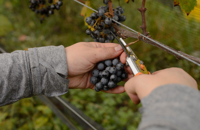Maryland Grape Growers Have Nothing to Wine About this Year: 2017 Harvest
