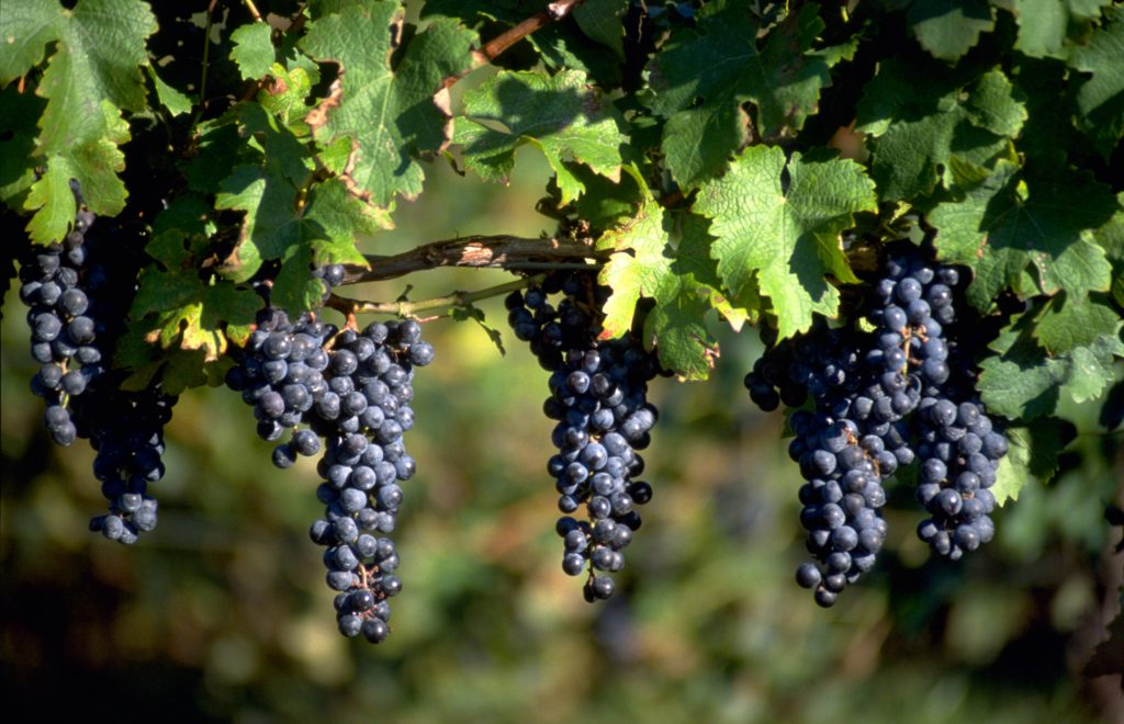 ripe wine grapes hanging from vines