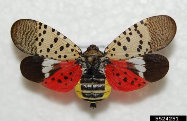 First Spotted Lanternfly Confirmed in Maryland – Industry Urged to Be Vigilant for New Invasive Species