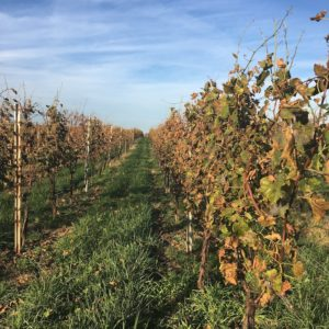 Vineyard rows in the fall