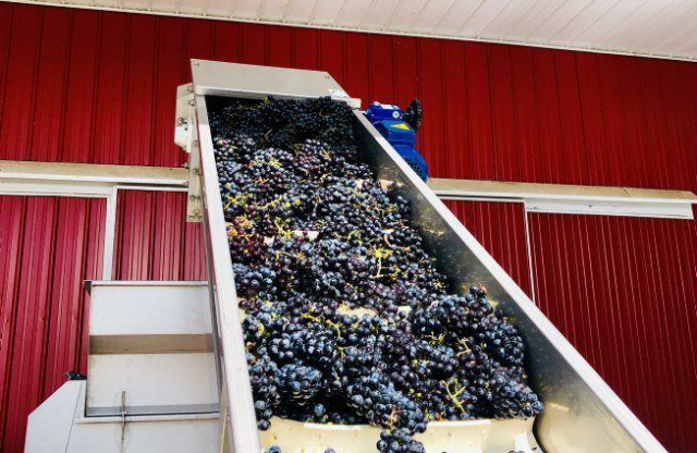 Maryland Grape Harvest Good for the Glass and the Economy