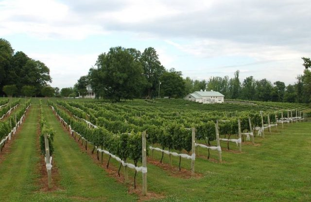 """""""Socially distant day trips: Winery and vineyards around Anne Arundel County"""" – Capital Gazette"""