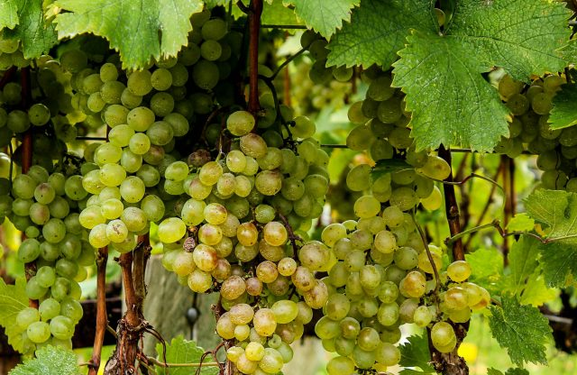 Albariño grape finds a sweet spot as popular dry white that's grown, made in the mid-Atlantic