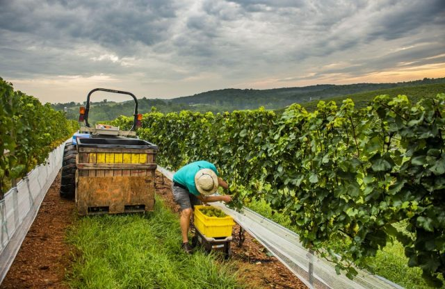 A handsome harvest: Vineyard workers contribute to one of Frederick County's biggest tourism draws